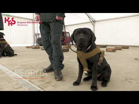 Negrita, Sony, Bruce i Hunter -psy służbowe KAS, jako pierwsze w Polsce pomogą w wykrywaniu COVID-19