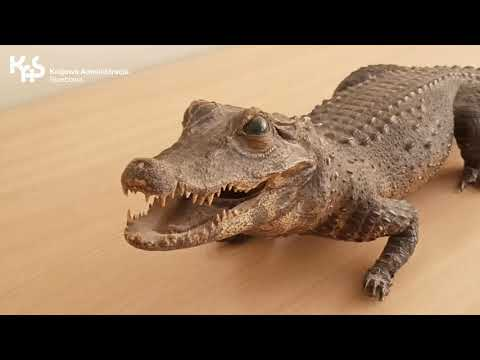 Krokodyl na granicy