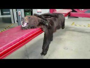 Read more about the article Bagaż z niedźwiedzią skórą