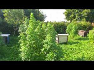 Read more about the article Uprawiał marihuanę na kondycję pszczół