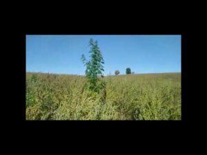 Read more about the article Kolejna marihuana ujawniona przez funkcjonariuszy z W-MOSG